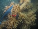 Primnoa corals with a spiny dogfish and cusk