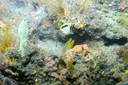 Bank butterflyfish with Villogorgia and Scleracis sp