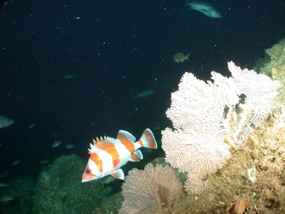 Plumarella sea fans with a flag rockfish on Tanner Bank