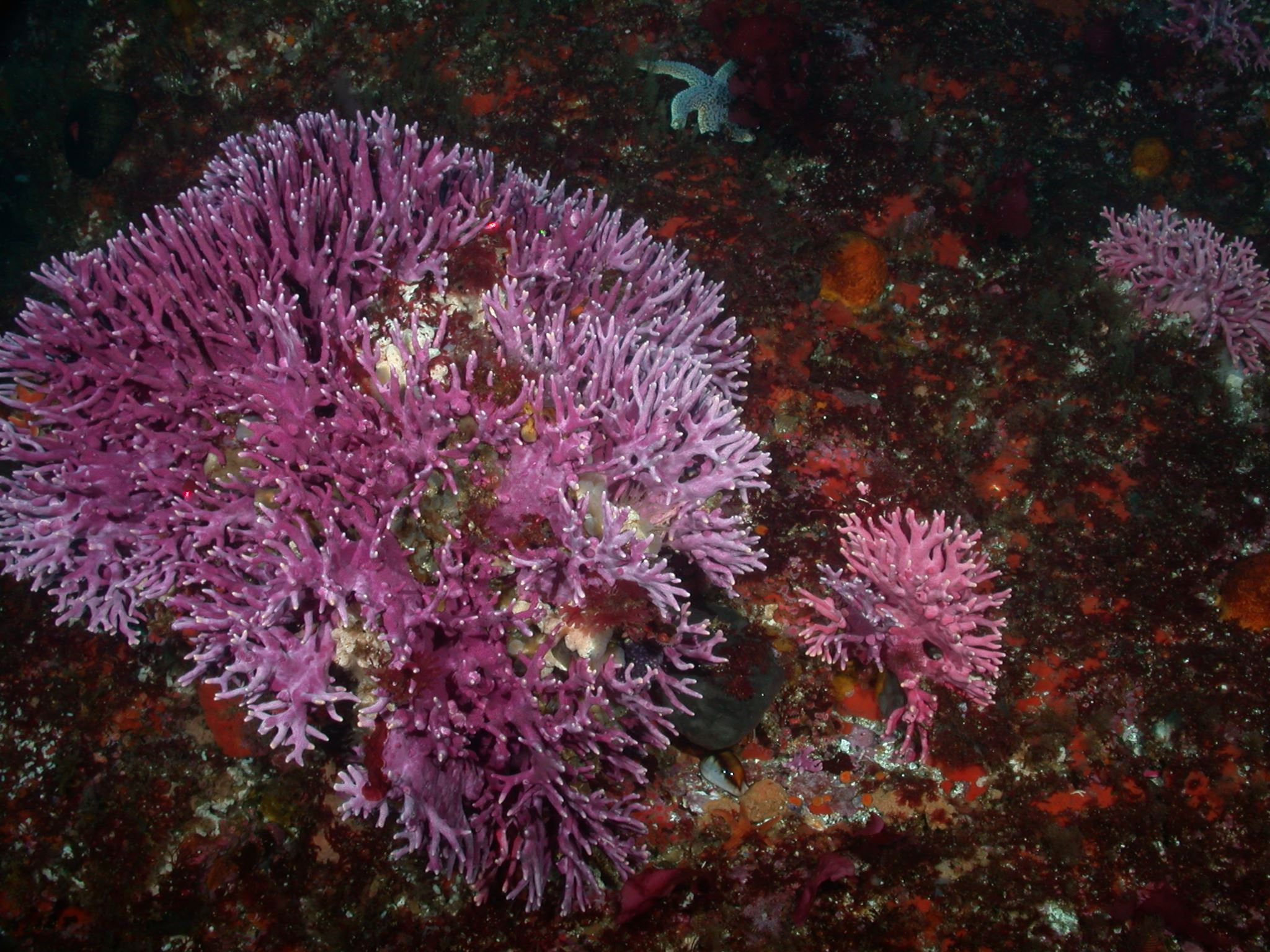 Stylaster hydrocoral on Tanner Bank