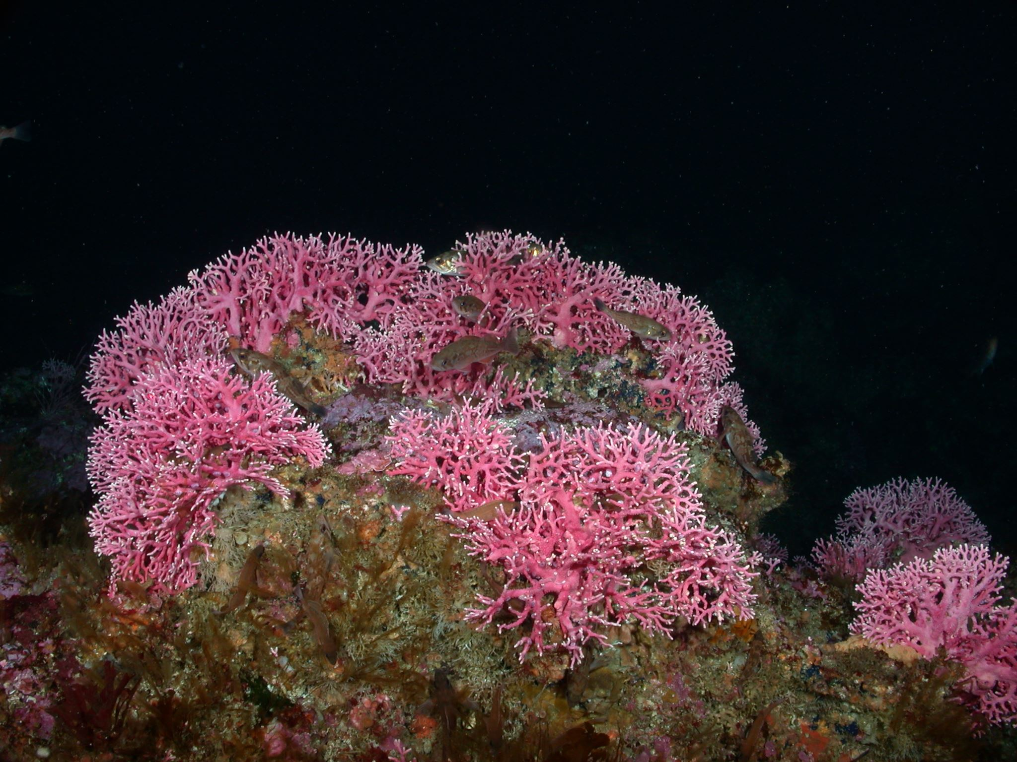 Stylaster hydrocoral and squarespot rockfish on Tanner Bank