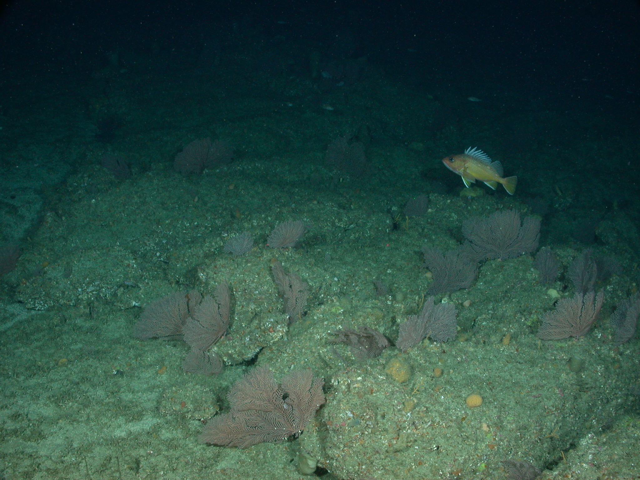 Field of Plumarella sea fans with a greenspotted rockfish on Tanner Bank