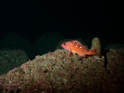 Barrel sponge with a starry rockfish on Cortes Bank