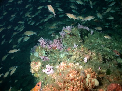 Hydrocoral and squarespot rockfish on Cortes Bank