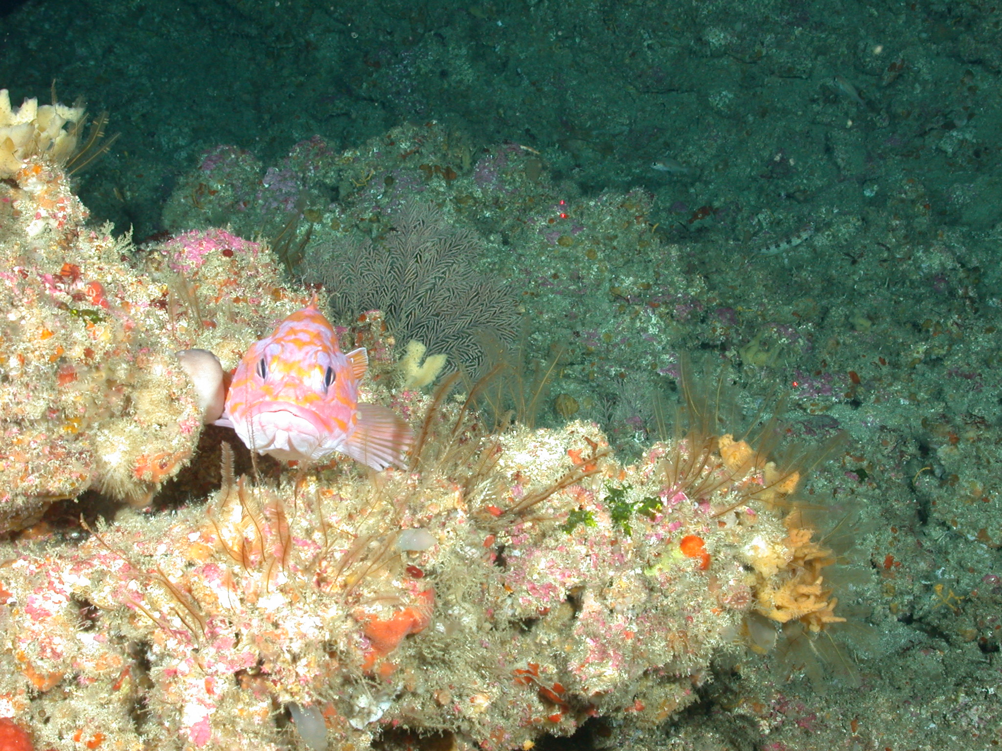 Plumarella sea fan and a rosy rockfish on Tanner Bank